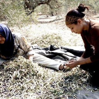 Picture of Palestine Fair Olive Harvest and Prospects for Peace 2020