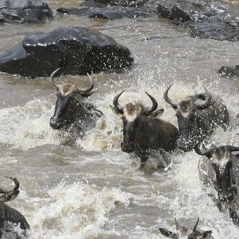 Picture of The Great Wildebeest Migration tour of Kenya